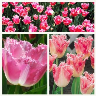 Tulip - Fancy Frills